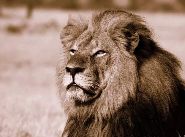 LEON  Cecil, el más famoso de la reserva de Hwange