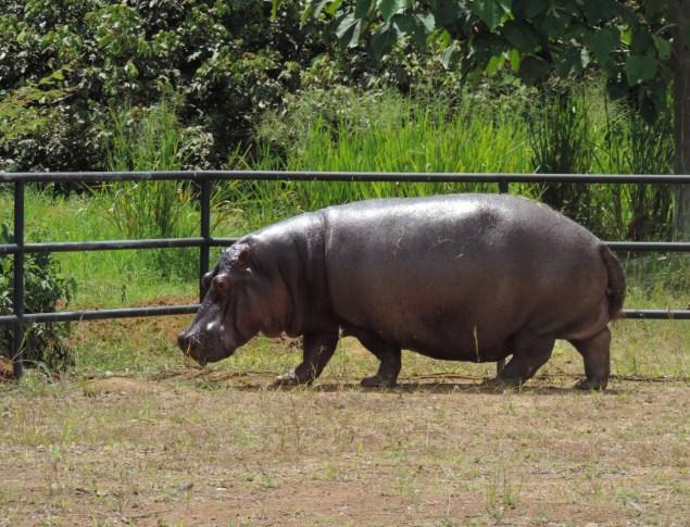 Hipopótamo Perla