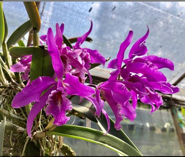 """Resultado de imagen de imágenes de orquídeas colombianas"""""""